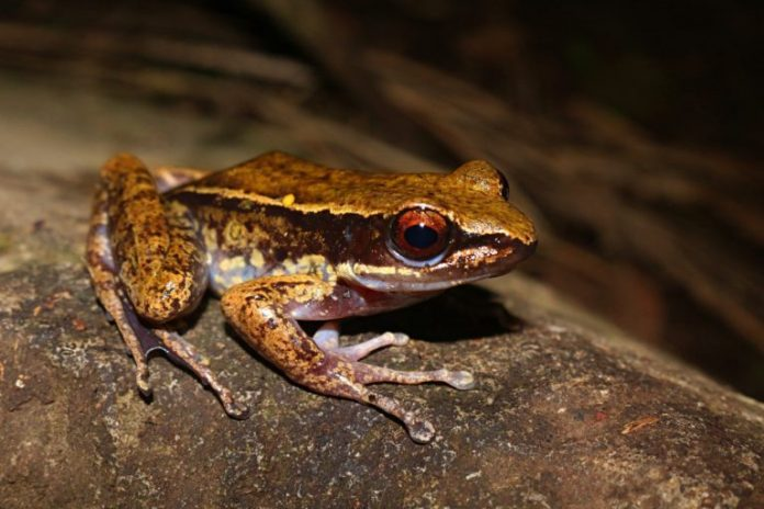 One-hit wonder frog makes a comeback in the southern Philippines